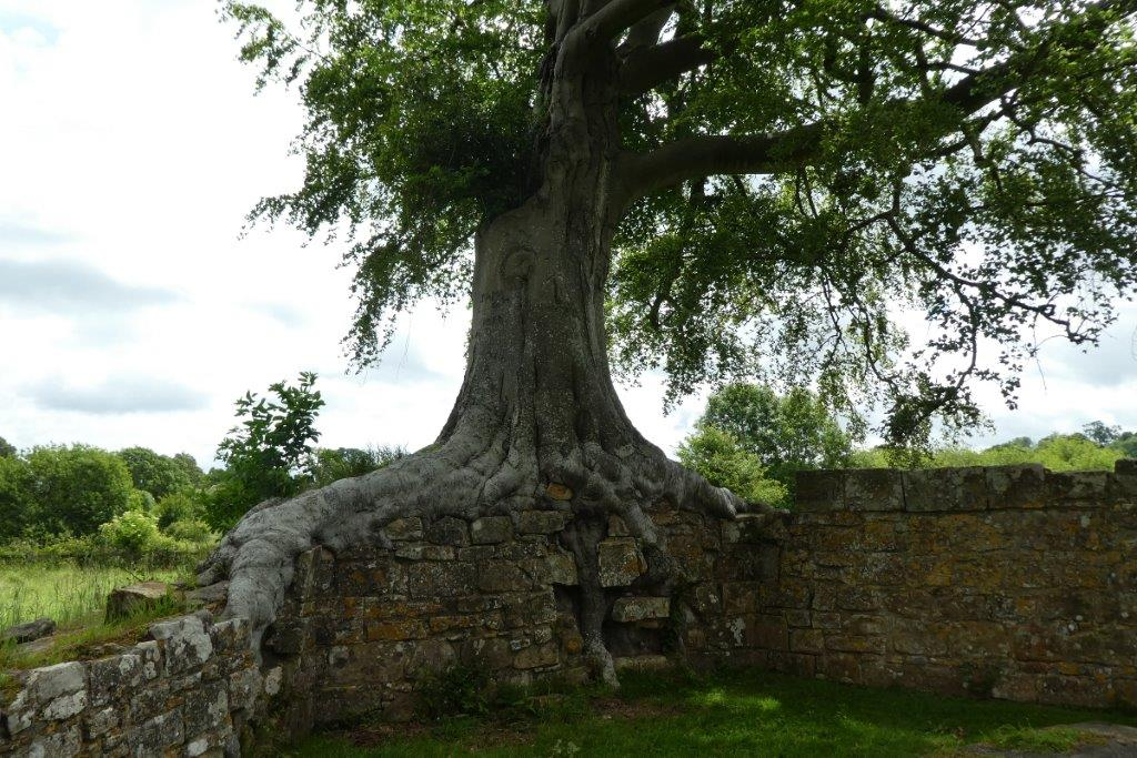Bayham Ancient tree