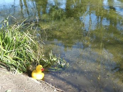 Picture: A duck walks along the Little Stour for some exercise. Picture credit: Bob Anderson/Rotary Club of Canterbury.